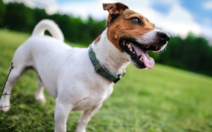 Джек-рассел-терьер: происхождение породы и характер собаки