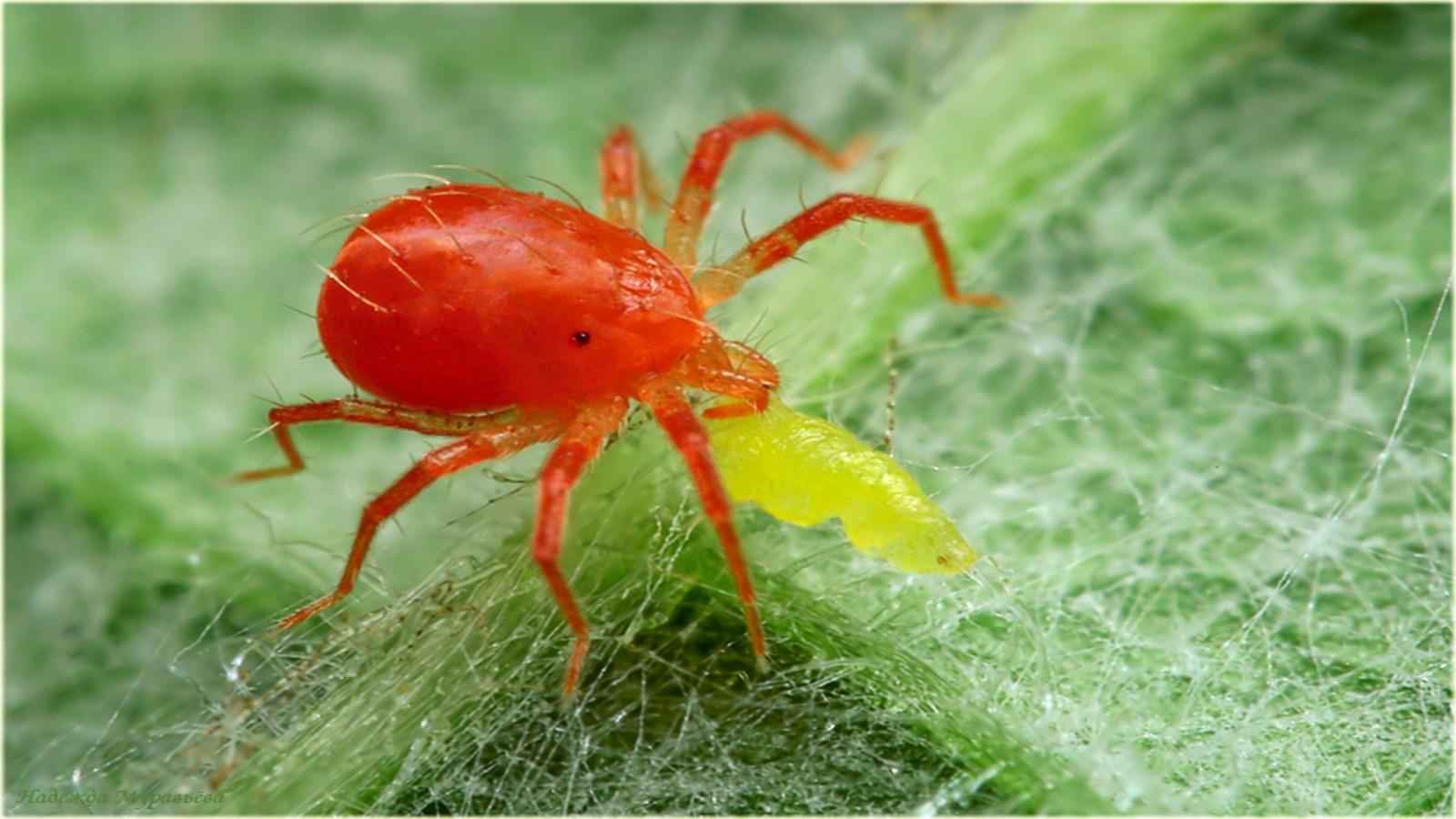 Водяные пауки: виды,обзор,описание,фото