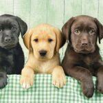 Лабрадор: история породы и характер собаки