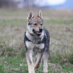 Чехословацкий влчак – с темпераментом немецкой овчарки и внешностью карпатского волка