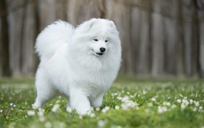 История породы и характер самоедской собаки
