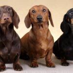 Такса: история породы,характер и болезни этой породы собак