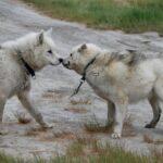 Гренландская собака: история породы и характер собаки