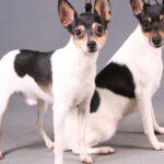 Американский той фокстерьер: история породы и характер собаки