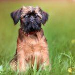 Брюссельский гриффон: история возникновения породы и характер собаки
