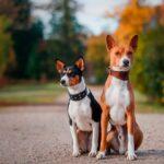 Басенджи:история породы и характер собаки