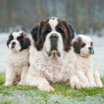 Сенбернар: история породы и характер собаки