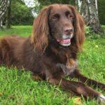Как использовать подгузники для собак