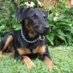 Ягдтерьер: история возникновения породы и характер собаки