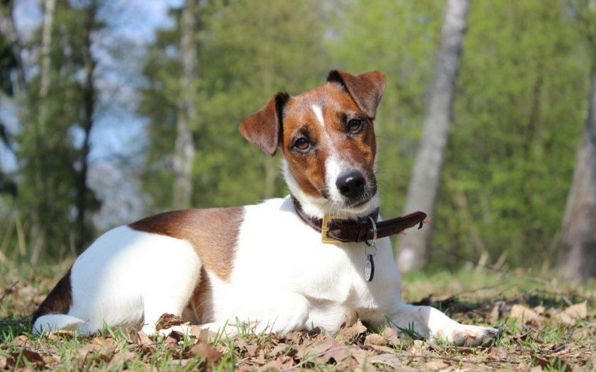 Гладкошёрстный фокстерьер: история происхождения и характер собаки