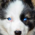 Якутская лайка: история возникновения породы и характер собаки