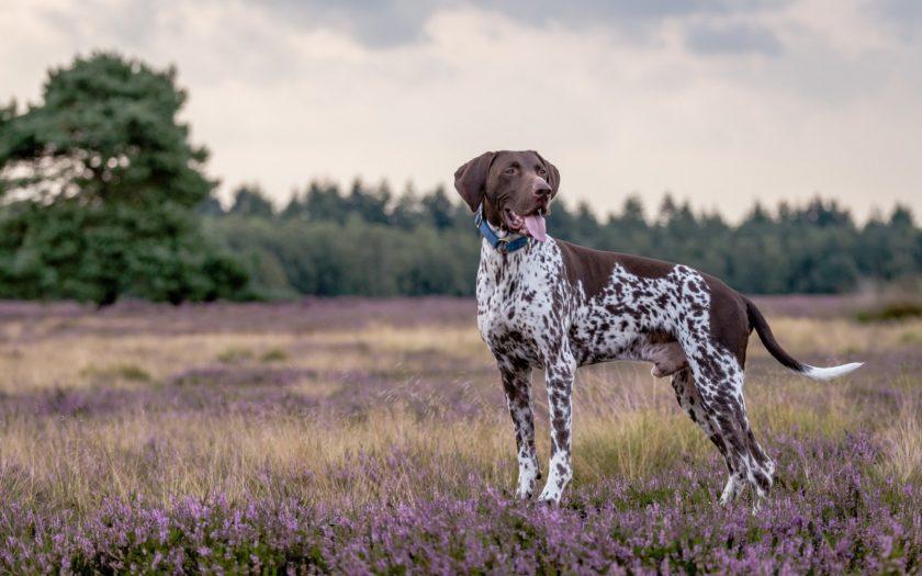 Курцхаар: история происхождения и характер собаки