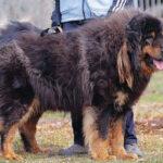 Монгольская овчарка банхар: происхождение и характер собаки