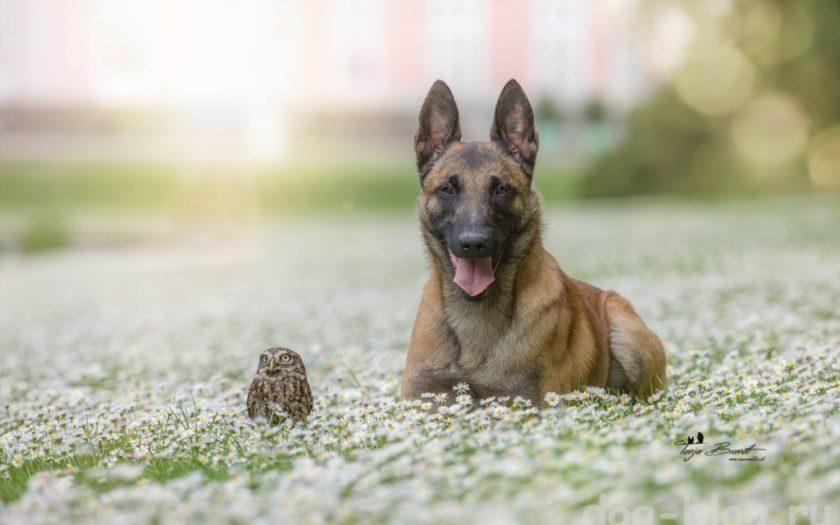 Малинуа — бельгийская овчарка: история происхождения и характер собаки