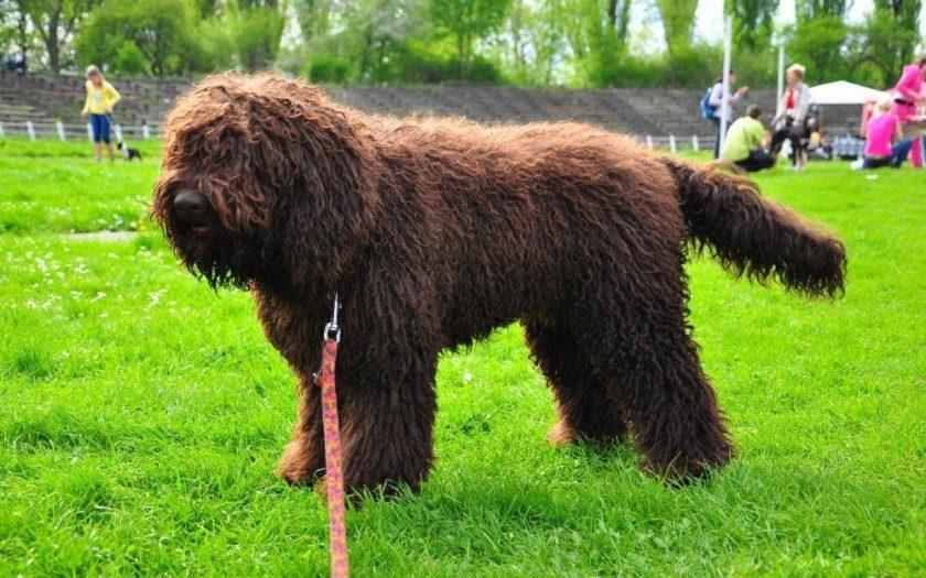 Барбет: история происхождения и характер собаки