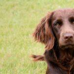 Вахтельхунд — немецкий спаниель: краткая историческая справка и характер собаки