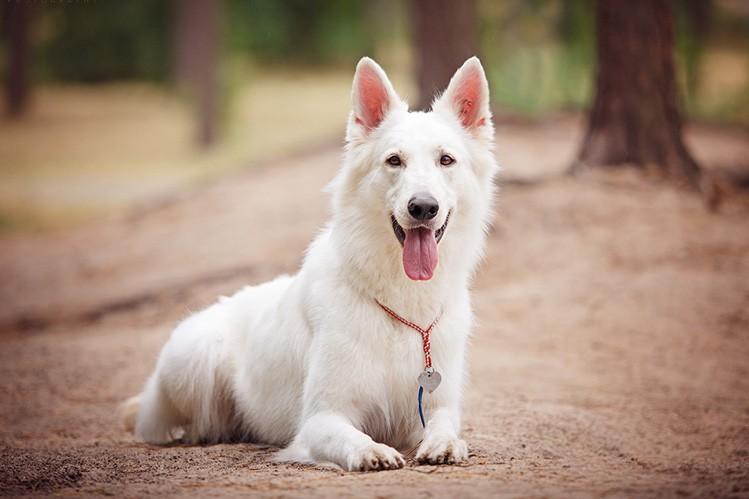 Белая швейцарская овчарка: история породы и характер собаки