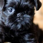 Бельгийский гриффон: история происхождения породы и характер собаки