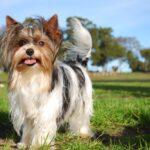 Бивер-йоркширский терьер: история происхождения и характер собаки