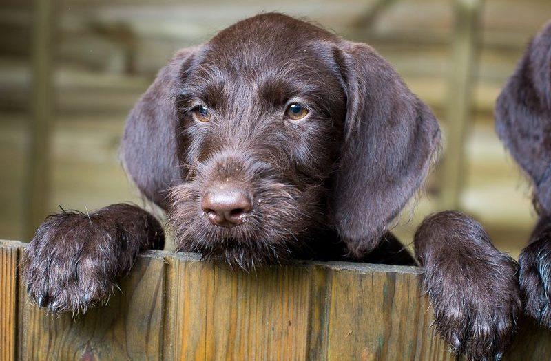 Дратхаар: история происхождения и характер собаки