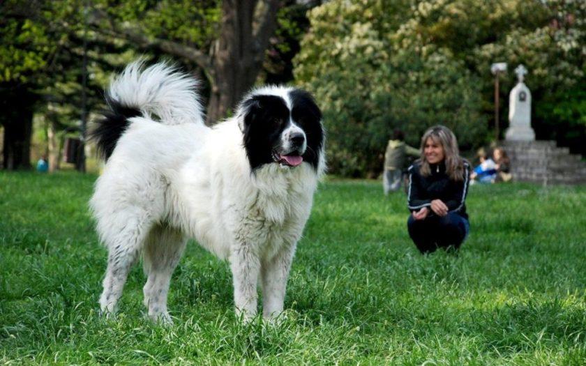 Болгарская овчарка: происхождение породы и характер собаки