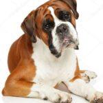 Боксер собака: история породы и характер собаки