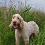 Итальянский спиноне: история происхождения и характер собаки