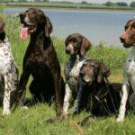 Пойнтер порода собак: история возникновения и характер