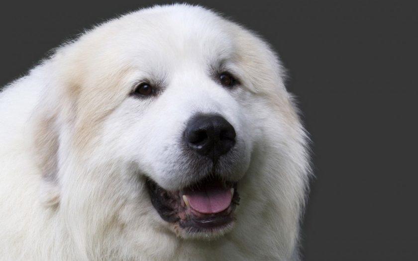 Пиренейская горная собака: история происхождения и характер породы