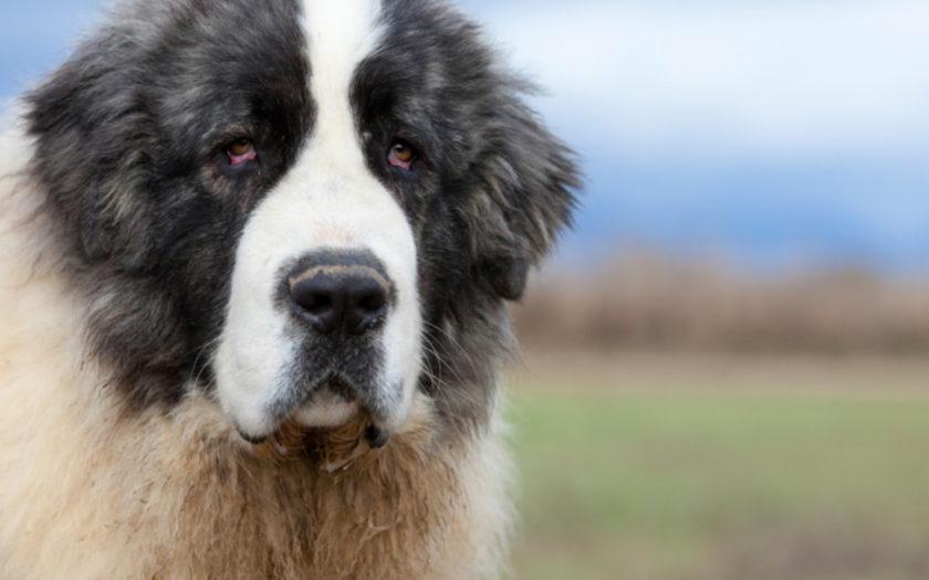 Пиренейский мастиф: история породы и характер собаки