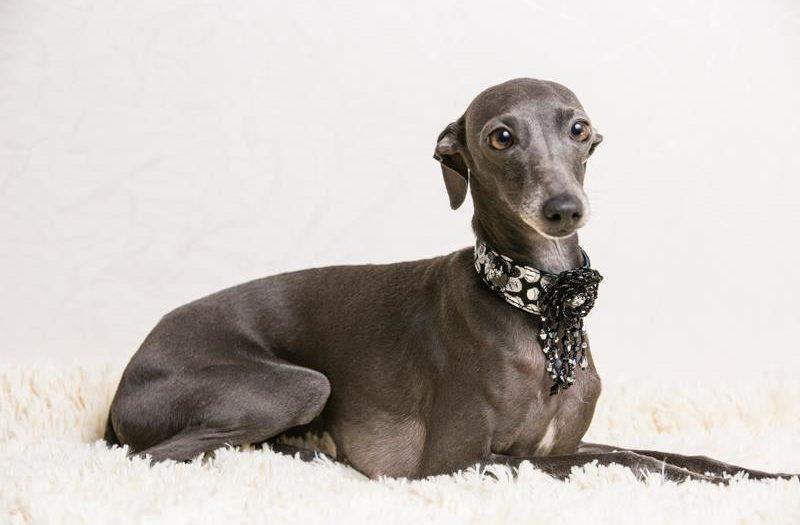 Левретка: история породы и характер собаки