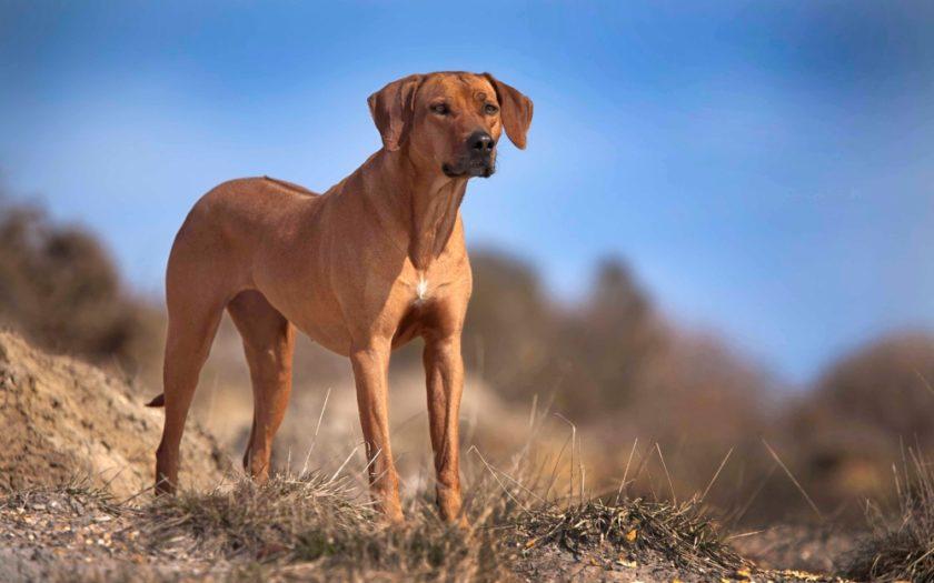 Родезийский риджбек: история происхождения и характер собаки