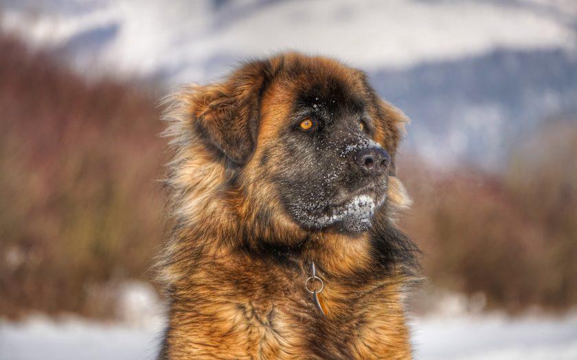 Леонбергер: история происхождения и характер собаки