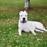 Аргентинский дог: история происхождения породы и характер собаки