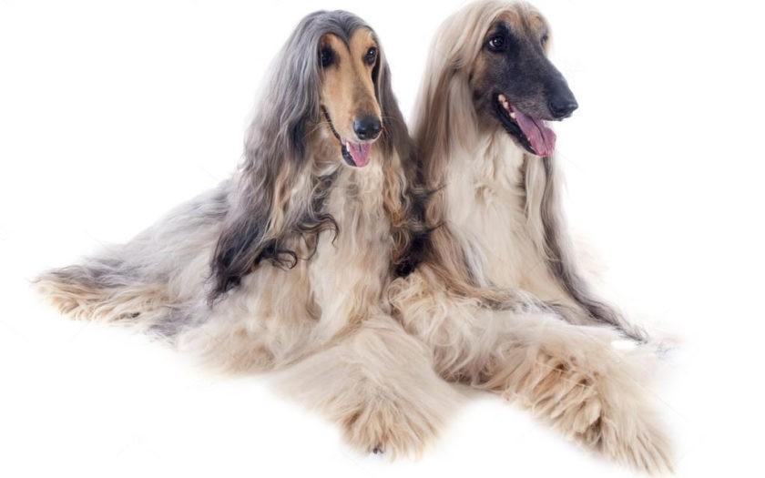 Афганская борзая: происхождение породы и характер собаки