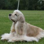 Американский кокер спаниель: история породы и характер собаки