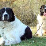 Буковинская овчарка: история происхождения и характер собаки