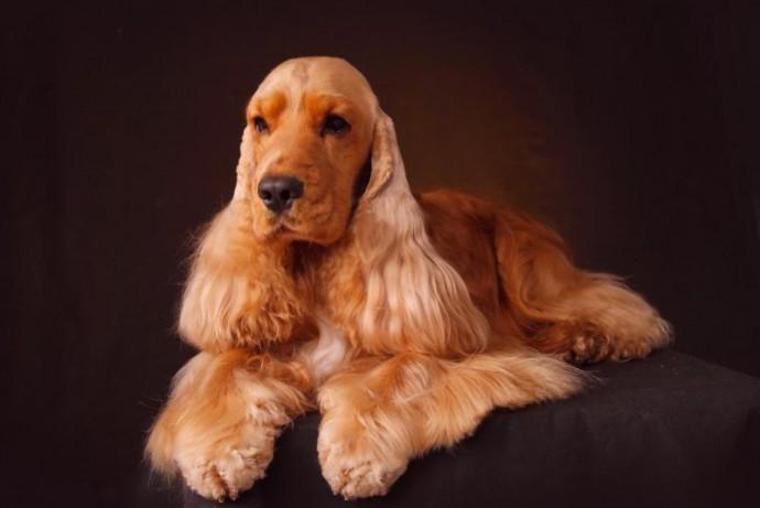 Английский кокер-спаниель: история породы и характер собаки