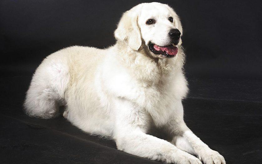Кувас: история породы и характер собаки