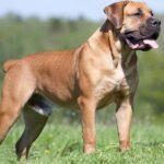 Бурбуль: история происхождения породы и характер собаки