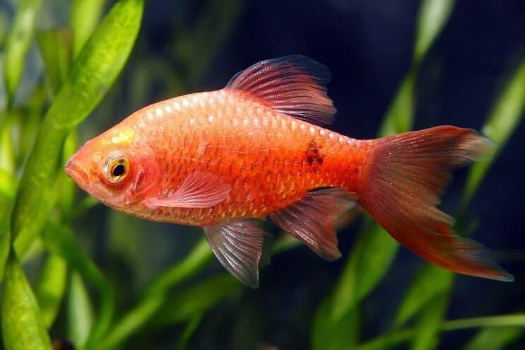 Обзор аквариумной рыбки — Розовый барбус
