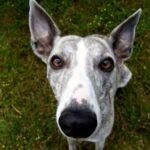 Уиппет: происхождение породы и характер собаки