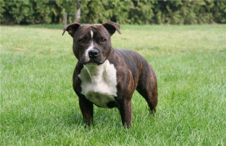 Cтаффордширский бультерьер: возникновение породы и характер собаки
