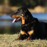 Босерон: история породы и характер собаки