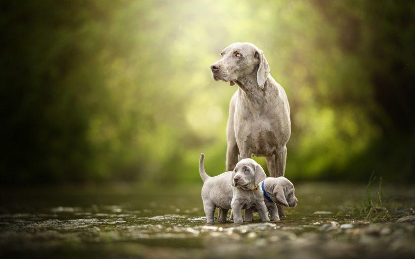 Веймаранер: история происхождения породы и характер собаки