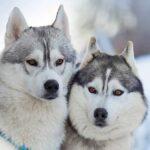 Сибирский хаски: история породы и характер собаки