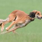 Салюки:описание породы и характер собаки
