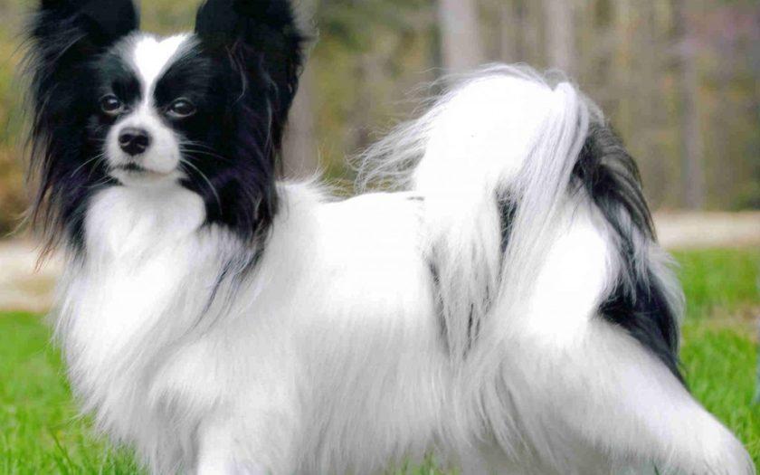 Папильон: история породы и характер собаки