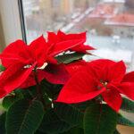 Пуансеттия красная:выращивание и уход в домашних условиях,фото,видео