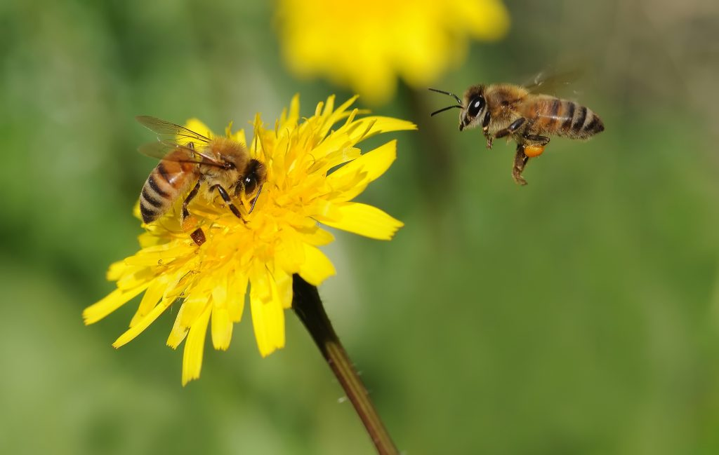 В чем разница между пчелами, осами и шмелями?Как выглядит пчела?